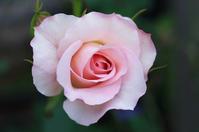 Bridal Pink - 閑居堂 ~ のんびり小父さんの独り言