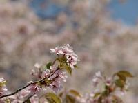 **圧倒的桜。2017開花♪** - 屋根裏部屋の落書帳