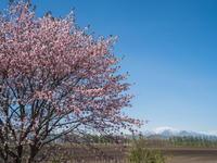 「村道沿いの一本桜」と「桜六花公園」村の桜が見頃です! - 十勝・中札内村「森の中の日記」~café&宿カンタベリー~