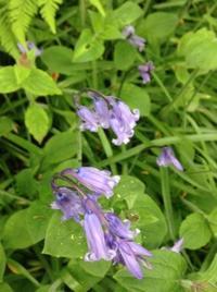 5月の夢の花、ブルーベルの森 - イギリス ウェールズの自然なくらし