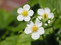 小さなワイルドストロベリーの花 - 神戸布引ハーブ園 ハーブガイド ハーブ花ごよみ