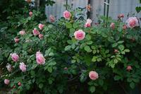 開花が遅れているのが有り難い?@ア・シュロップシャイア・ラド - Doriのお気に入り