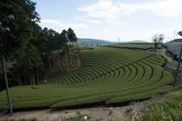 京都府和束町の茶畑 - とりあえず撮ってみました