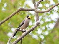 新緑の中のイカル - コーヒー党の野鳥と自然 パート2