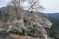 浜松市天竜区 桜Apr. 2017#005 - hama-take の blog