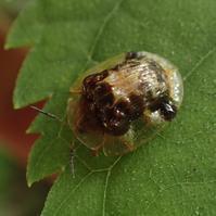 イチモンジカメノコハムシ Thlaspida biramosa - 写ればおっけー。コンデジで虫写真