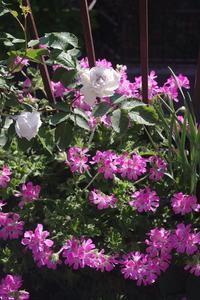 鮮やかピンクのセンテッドゼラニウム - お散歩日和ときどきお昼寝