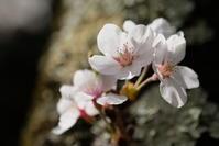 桜とかもしか - 思い出を残して歩け。