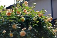 そろそろ満開のクラウン・プリンセス・マルガリータと咲き続けるキャリエール - Doriのお気に入り
