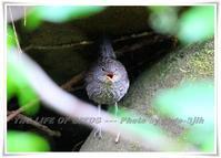 カワガラスの巣立ち雛には、すでに飛翔能力が備わっている - THE LIFE OF BIRDS ー 野鳥つれづれ記