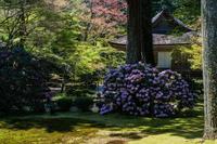 三千院の石楠花 - 鏡花水月