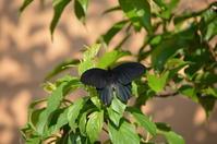 ナガサキアゲハ♂5月11日庭にて - 超蝶