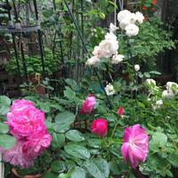 ウキウキします。春のバラがいっせいに開花しています。 - Mayumin's rose garden&table 小さな秘密の花園で