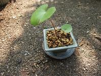 なんちゃってミニ盆栽 - はなんち