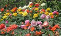 今日の撮って出し!薔薇が咲いた~旧古河庭園 - デハ712のデジカメ日記2017