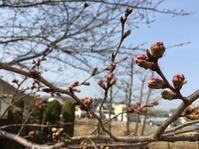 今年の桜 - 入間市 おおぎデイサービスセンターです(*^^*)ノ