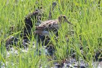 シギチの目はまだまだ全然修行が足りませんその2〜初モノ、トウネン&コアオアシシギ - 野鳥写真日記 自分用アーカイブズ