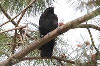 キビタキのバトル - 野鳥写真日記 自分用アーカイブズ
