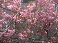 5月13日(土)・・・お花、満開です! - ある喫茶店主の気ままな日記。