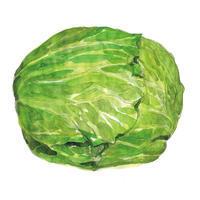 キャベツ/リアルタッチの野菜を描きました!大戸屋食育キャンペーン2017 - まゆみん MAYUMIN Illustration Arts