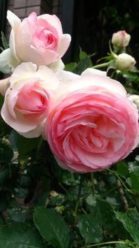 薔薇の季節 - 大竹智巳 ハープブログ