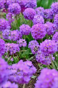 タマザキサクラソウの開花が - ハーブガーデン便り