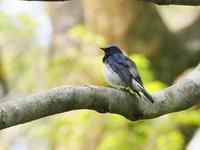 オオルリの♂と♀ - コーヒー党の野鳥と自然 パート2