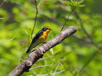 キビタキの♂と♀ - コーヒー党の野鳥と自然 パート2