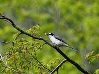 サンショウクイの♂と♀ - コーヒー党の野鳥と自然 パート2