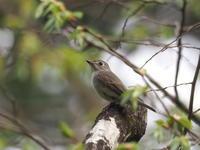 渓谷沿いのコサメビタキ - コーヒー党の野鳥と自然 パート2