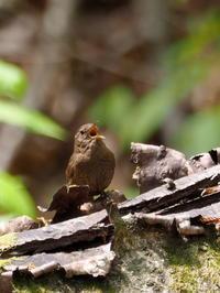 ミソサザイ囀る - コーヒー党の野鳥と自然 パート2