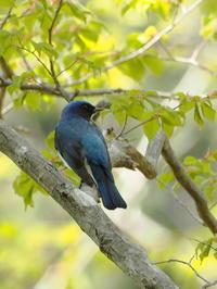 梢のオオルリ - コーヒー党の野鳥と自然 パート2