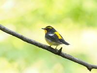 森のキビタキ - コーヒー党の野鳥と自然 パート2
