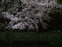 井の頭公園の桜は、満開のピークは過ぎた感じですが、週末も花見は大丈夫そうです^ ^ - contemporary creation+ ART FASHION DESIGN