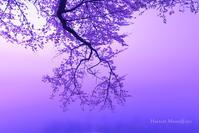 艶桜 - Harvest Moon