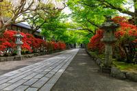 石山寺参道のキリシマツツジ - 花景色-K.W.C. PhotoBlog