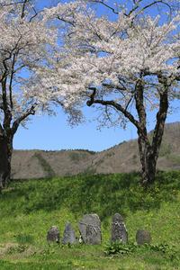 定番桜その1 - 山猫を探す人Ⅱ