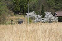 定番桜その2 - 山猫を探す人Ⅱ