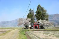定番桜その3 - 山猫を探す人Ⅱ