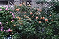満開のレディー・オブ・シャーロット&これから咲き進むコーネリア - Doriのお気に入り