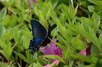 カラスアゲハ5月14日 - 超蝶