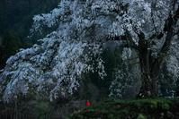 上発知の枝垂桜2 - Patrappi annex