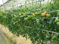 今年植えたトマトが熟れ始めました - ◇◇◇ tomatorose  ~ トマトローゼ ◇◇◇
