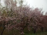 雨降りのお花見の帰り道 - 北緯44度の雑記帳