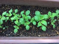 大葉、トレビス、メロン - 3F garden(屋根付屋外水耕)