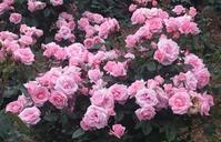 今日の撮って出し!:春から初夏へ~谷津バラ園 - デハ712のデジカメ日記2017