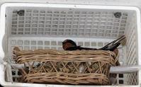 ツバメが卵を温めていました! - ブルーベルの森-ブログ-英国のハンドメイド陶器と雑貨の通販