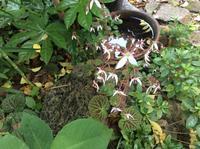 FUKUKOTO春庭は「密やかに・・・優しく・美しく咲いてるよ」編 - ドライフラワーギャラリー⁂ふくことカフェ