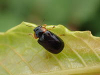 キボシルリハムシSmaragdina aurita - 写ればおっけー。コンデジで虫写真