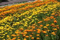 ポットマリーゴールドに囲まれて♪ - 神戸布引ハーブ園 ハーブガイド ハーブ花ごよみ